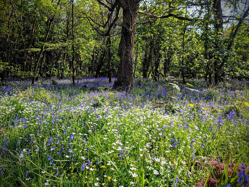 Spring bluebells in Somerset